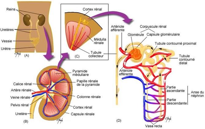anatomie-rein